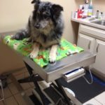 Sidney shows just how comfy a big dog can be on our exam tables when they are elevated.